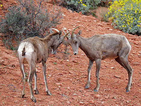 Desert Bighorn Sheep Young Males Head-butting Valley of Fire State Park Las Vegas by Scott Leslie