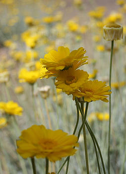 Desert Daisies by Marna Edwards Flavell