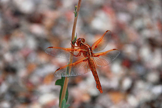 Desert Dragonfly by Zee Helmick