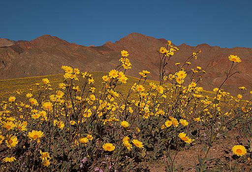Desert Gold 3 by Susan Rovira