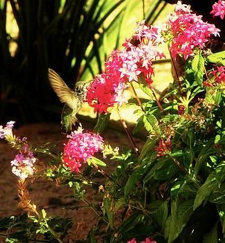 Desert Hummingbird by Elma Sulek