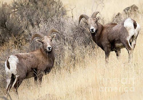 Desert Rams by Mike Dawson