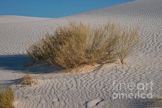 Bob Phillips - Desert Shrub