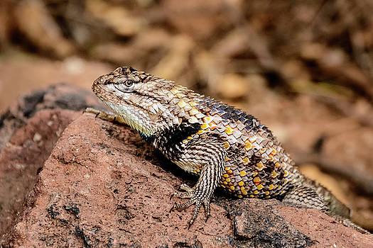 Desert Spiny Lizard by Emily Bristor