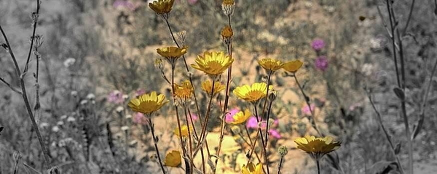Desert Spot Daisy by Michael Hope