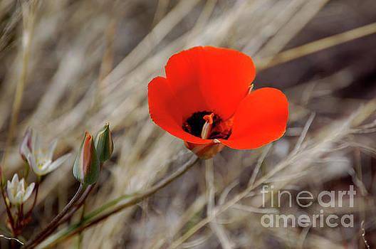 Desert Wildflower by Frank Stallone