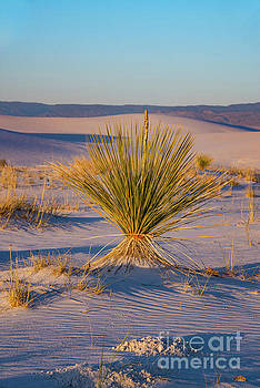 Bob Phillips - Desert Yuca Plant at Sunset