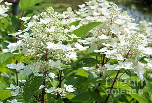 Compuinfoto - detail of white hortensia