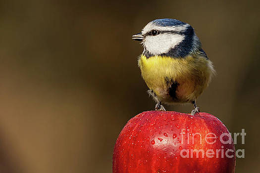 Detailed Blue Tit Cyanistes caeruleus sat on a wet red apple by Simon Bratt Photography LRPS