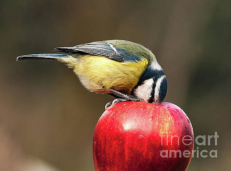 Detailed blue tit with beak inside a red apple by Simon Bratt Photography LRPS