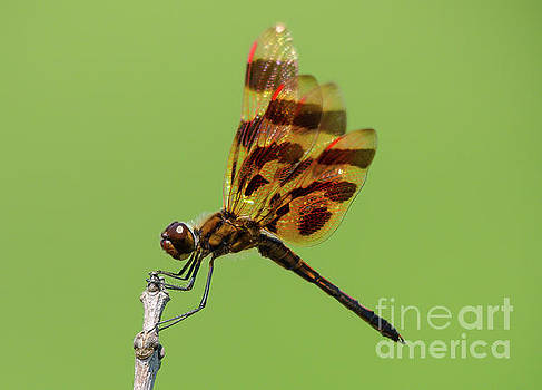 Detailed Dragonfly by Cheryl Baxter