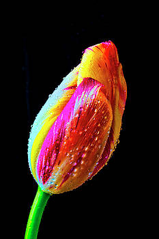 Dew Beaded Tulip by Garry Gay