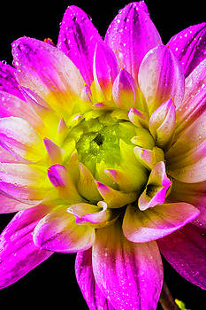 Dew Covered Dahlia by Garry Gay