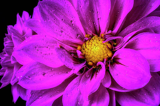 Dew Covered Purple Dahlia by Garry Gay