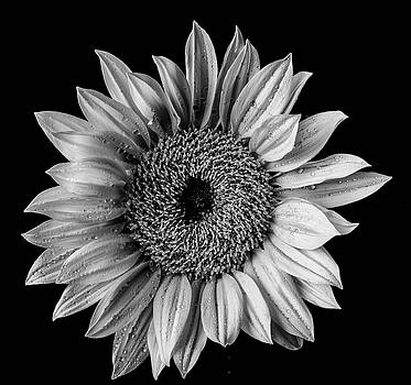 Dew Covered Sunflower In Black And White by Garry Gay