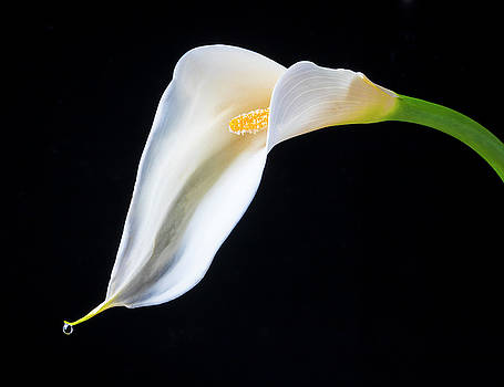 Dew Drop Calla Lily by Garry Gay