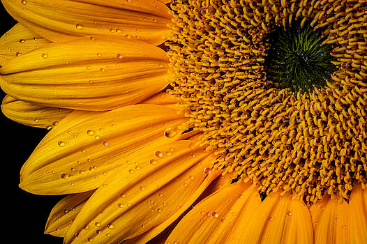 Dew Drops On Sunflower Petals by Garry Gay
