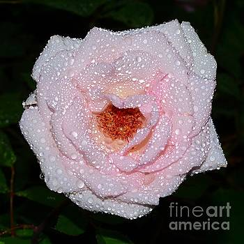 Patrick Witz - Dew Jeweled Rose