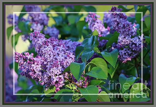Sandra Huston - Dew Kissed Lilac Blossoms, Framed