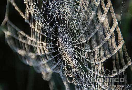 Dew Laden Web by Cheryl Baxter