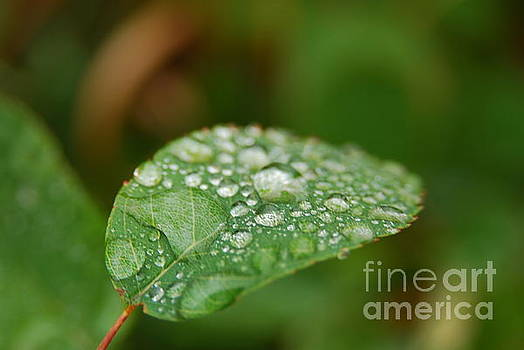 Dew on a Leaf by Jessica Wallace