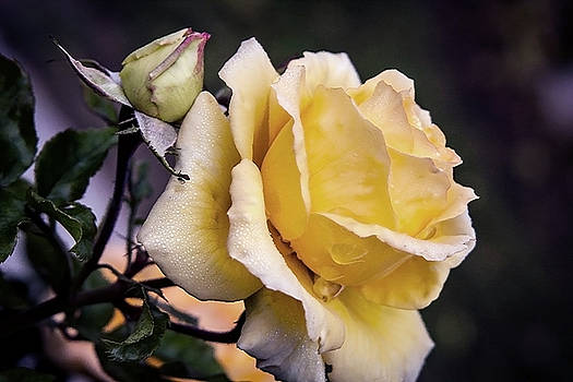 Dew on a rose by Vanessa Thomas