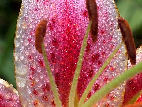 Dew on a Stargazer Lily by Denise   Hoff