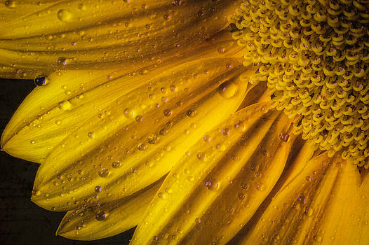 Dew On Yellow Petals by Garry Gay