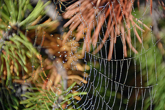 Dew Web and Pine Needles by Bruce Gourley