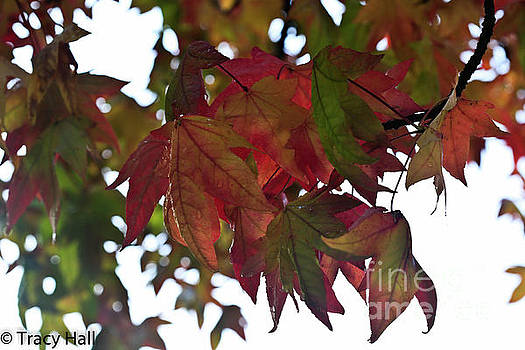 Dewy Maples by Tracy Hall