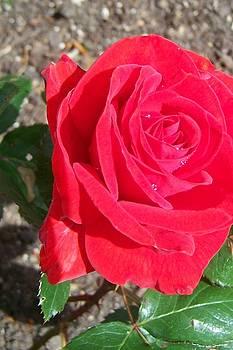 Dewy Rose by Mark Cheney