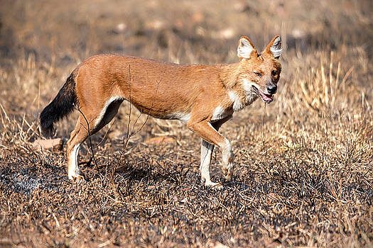 Dhole in the wild by Pravine Chester