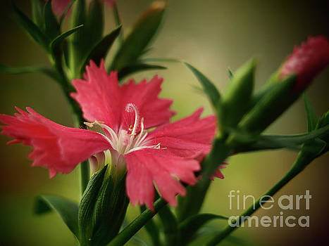 Dianthus In The Garden Shadows  3 by Dorothy Lee