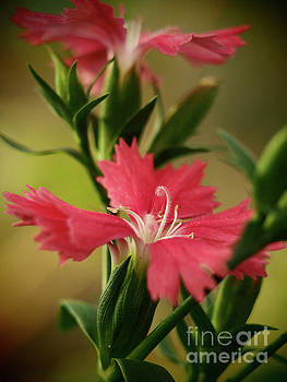 Dianthus In The Garden Shadows 4 by Dorothy Lee