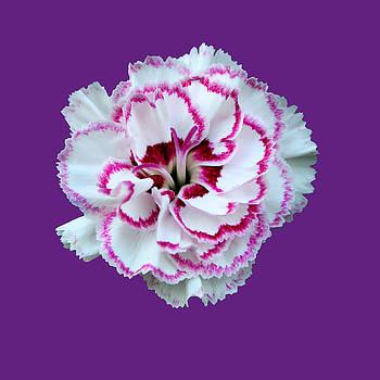 Bamalam Photography - Dianthus - Pink - Gran