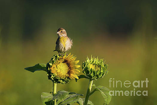 Dickcissel Sunflower by Andrea Silies