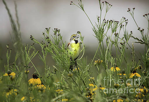 Dickcissel With Mexican Hat by Robert Frederick