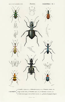 Different illustrated types of beetles by Charles Dessalines D' Orbigny