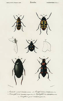 Different types of illustrated beetles by Charles Dessalines D' Orbigny