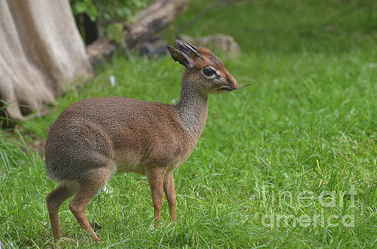 Dik Dik with a Small Twig in His Mouth by DejaVu Designs