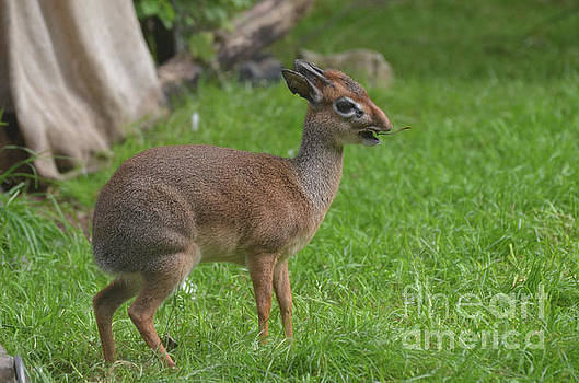 Dik Dik with His Mouth Open with a Twig by DejaVu Designs