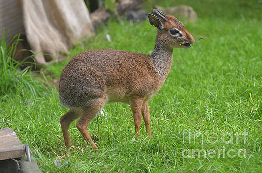 Dik Dik with his Mouth wide Open with a Twig by DejaVu Designs
