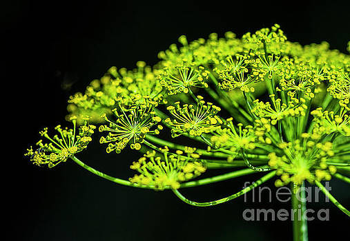 Dill Blossoms by Cindy Tiefenbrunn