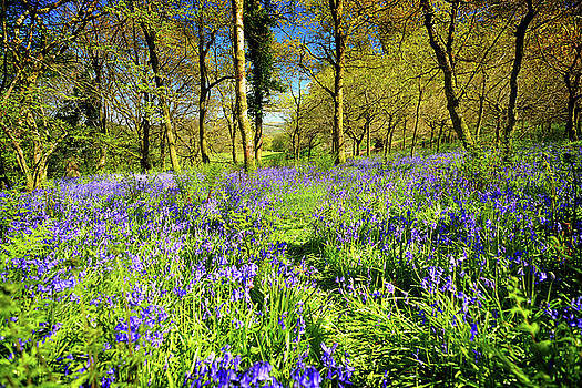 Dinefwr Bluebell walk by Phil Fitzsimmons