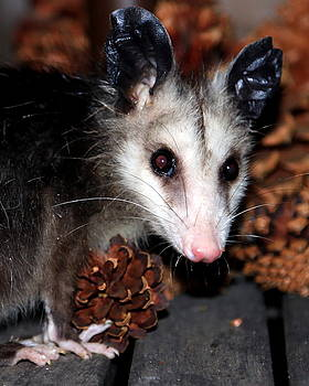 Dining Possums VI by Ron Romanosky