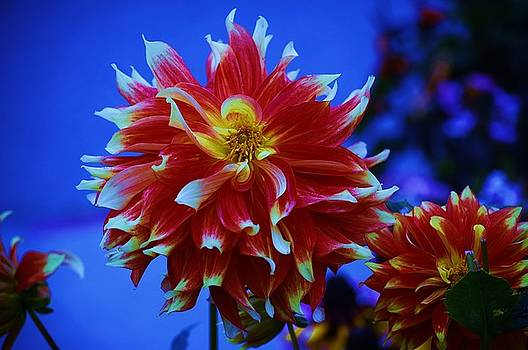 Dinnerplate Dahlia by Helen Carson