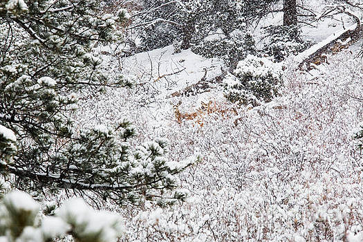 Steve Krull - Distant Deer in Heavy Snow in the Pike National Forest