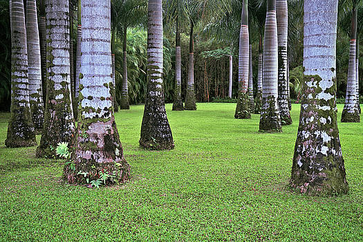 Distinctive markings on the trunks of this grove of Royal Palm Trees. by Larry Geddis