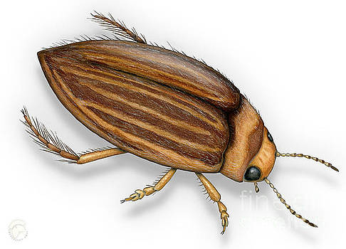Diving Beetle Porhydrus lineatus - Schwimmkaefer - Waterroofkever by Urft Valley Art
