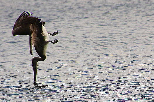 Diving Pelican by Laurel Talabere